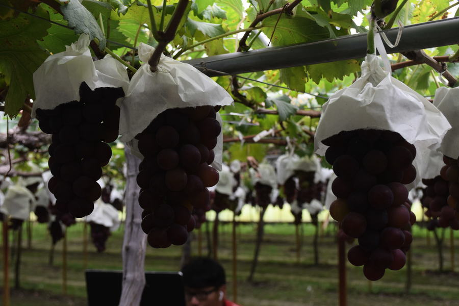 澳洲廢除一帶一路 出口中國葡萄遭延遲通關