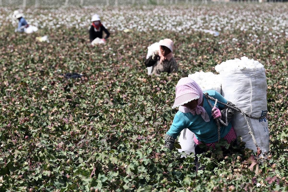 圖為2015年9月20日新疆哈密市某處棉花地。(STR/AFP via Getty Images)