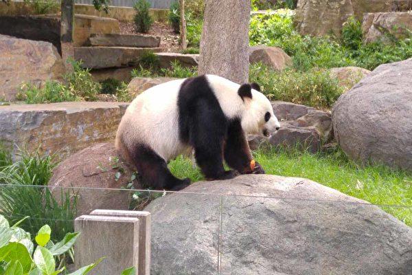 德媒施壓 要求默克爾給熊貓起名「香港」