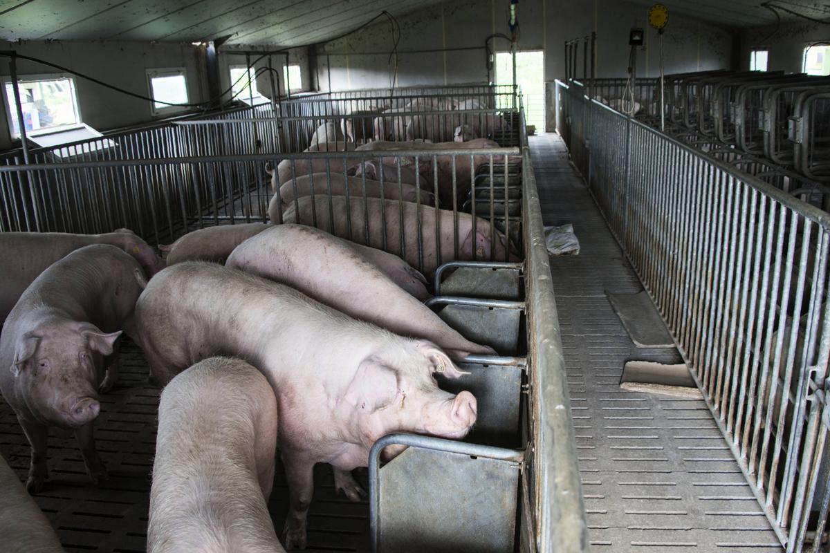 9月6日(星期四),中國大陸又通報了4宗非洲豬瘟疫情。圖為示意照。(AFP)