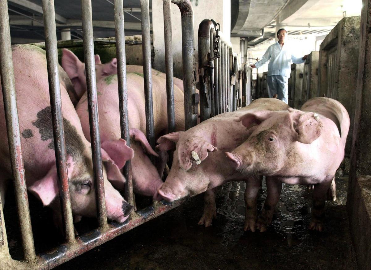 阿根廷當局與中共達成了一項養豬產業協議,引發當地民眾和環保界人士前所未有的反對。圖為示意圖。(JAMES HUANG/AFP)
