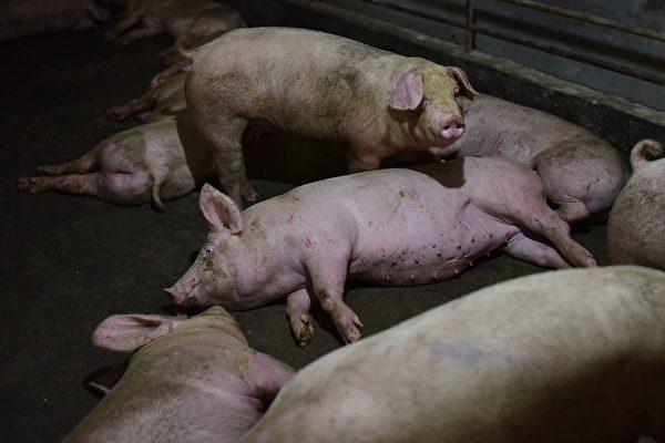 大陸非洲豬瘟出現新變種 傳播能力強