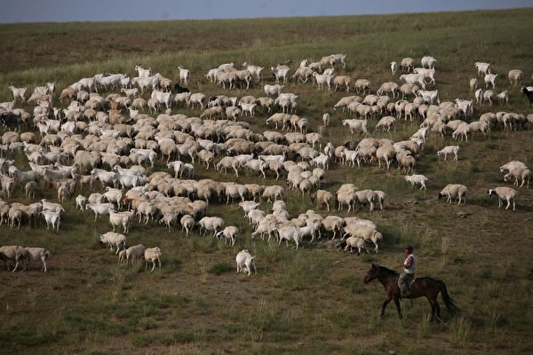 甘肅省蘭州市自2019年爆發「布魯氏菌」感染至今,患者人數仍在不斷增加,而且患者症狀加重。圖為2006年內蒙古錫林浩特一個牧場,圖片與文章內容無關。(China Photos/Getty Images)