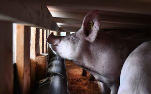 生豬價續暴跌 大陸養豬戶從賺三千到賠千餘元
