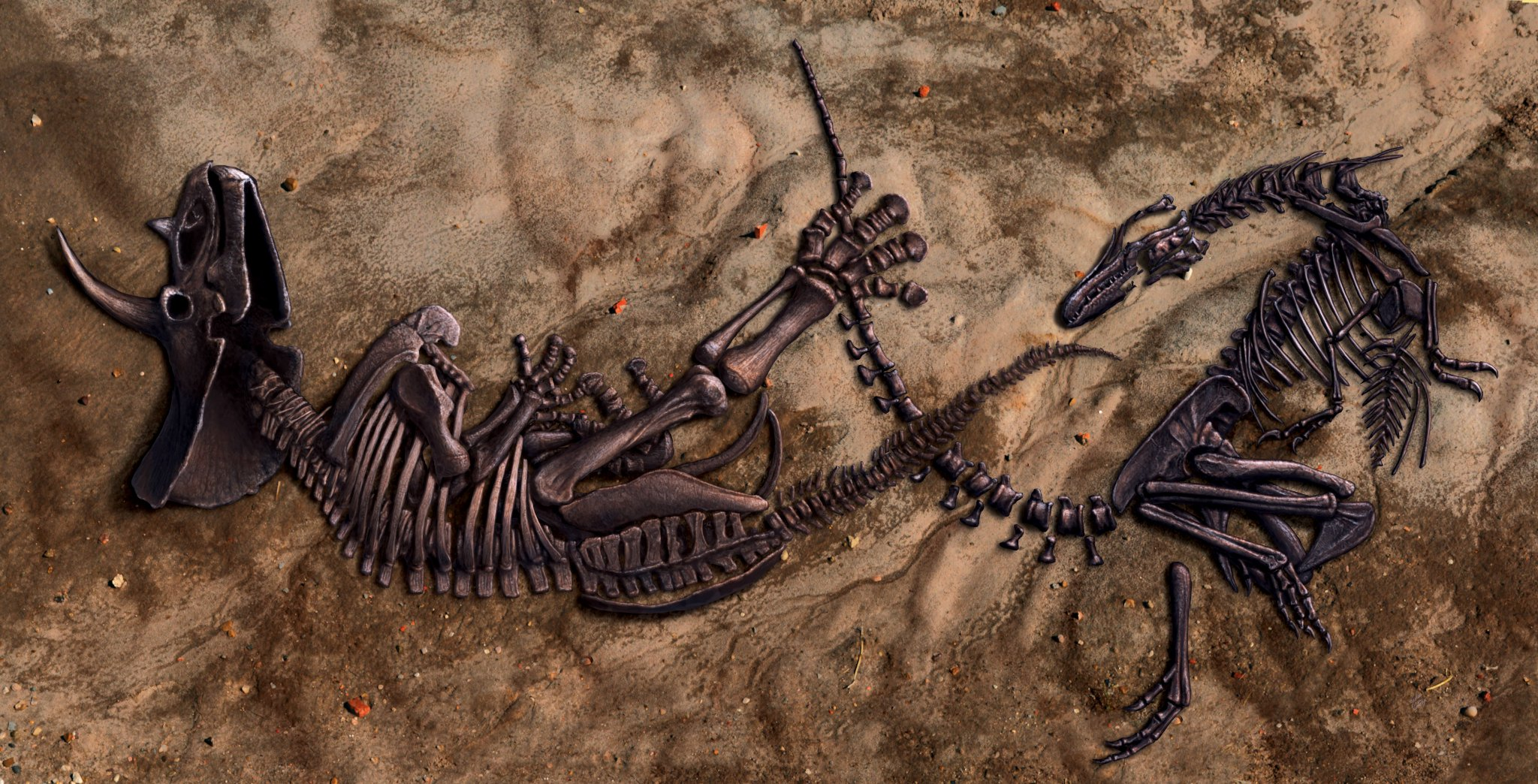 交戰中的兩隻恐龍同時重傷致死並保存為化石。(North Carolina Museum of Natural History)