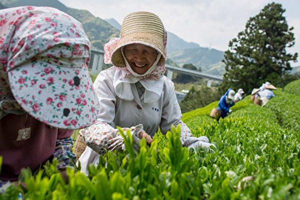 2014年5月1日,一名婦女在日本靜岡縣的森內茶農園(Moriuchi Tea Farm)採摘茶葉。(Chris McGrath/Getty Images)