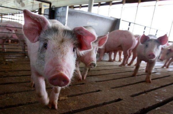 因遭嚴重非洲豬瘟疫情衝擊,四川眉山養豬戶近日在網上求助,並批評政府對疫情無動於衷。圖為資料圖。(Scott Olson/Getty Images)