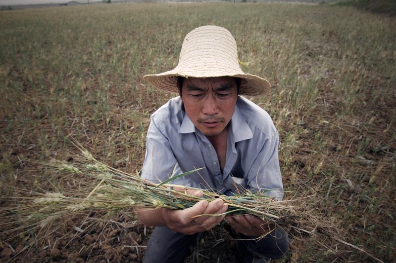 中共農業農村部部長近日在兩會上稱「今年糧食最低收購價提高1分錢」,這份給農民的「新年大禮」令輿論譁然。圖為武漢一農民捧著乾枯的莊稼發愁。(ChinaFotoPress/Getty Images)