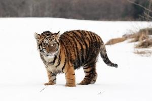 遊客湧入俄羅斯動物園 聽這隻幼虎「唱歌」