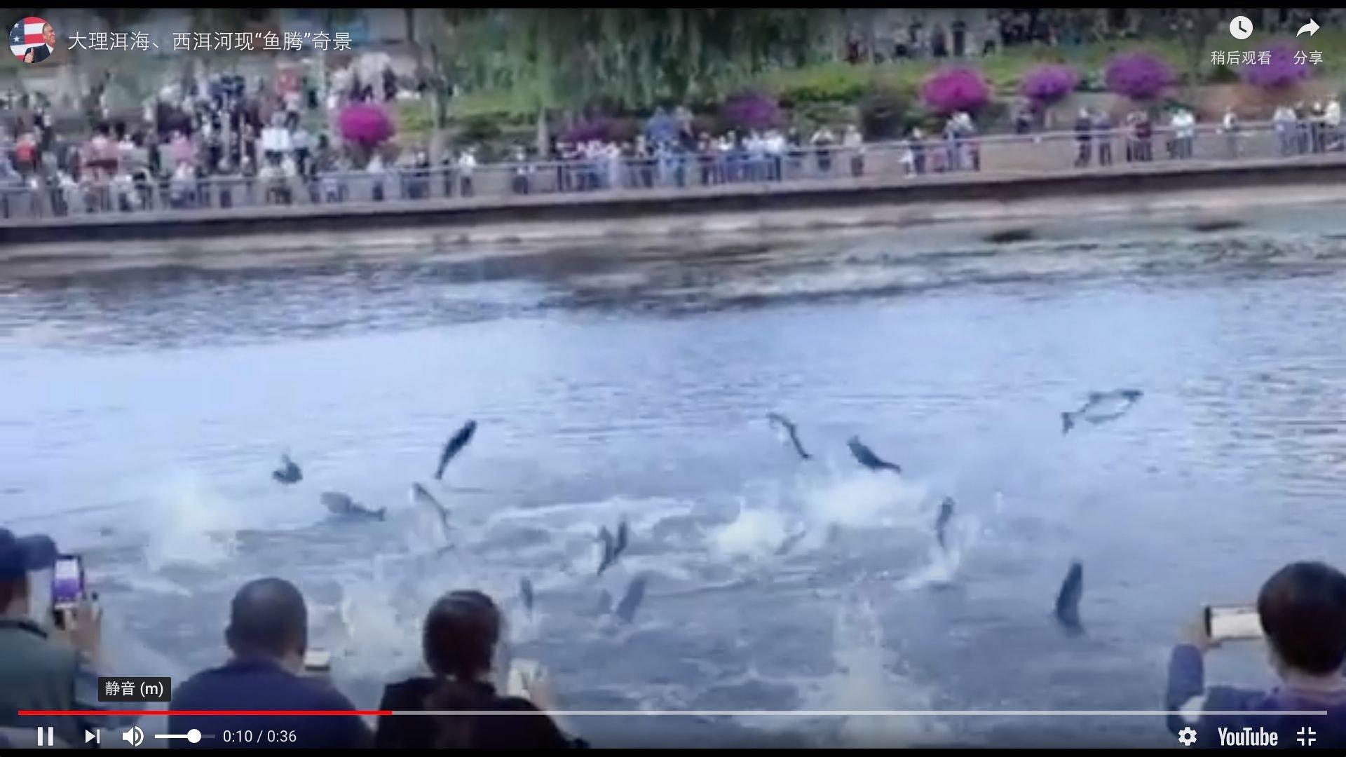 雲南大理洱海、西洱河6月15日出現「魚騰」奇景,吸引大量市民圍觀。(影片截圖)