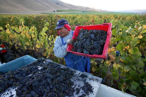 2006年10月9日,加州桑塔瑪麗亞(Santa Maria)。一名墨西哥客工在一家釀酒廠的葡萄園裏摘採葡萄。(ROBYN BECK/AFP/Getty Images)