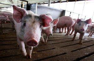 廣東局地能繁母豬減超80% 豬肉供應缺口大
