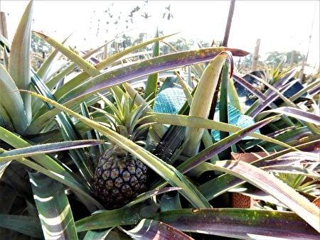 日正當中,一顆顆躲在驕陽下的綠皮菠蘿,戴上五顏六色的圓帽子,大約過兩個月就要採收了!(黃玉燕/大紀元)