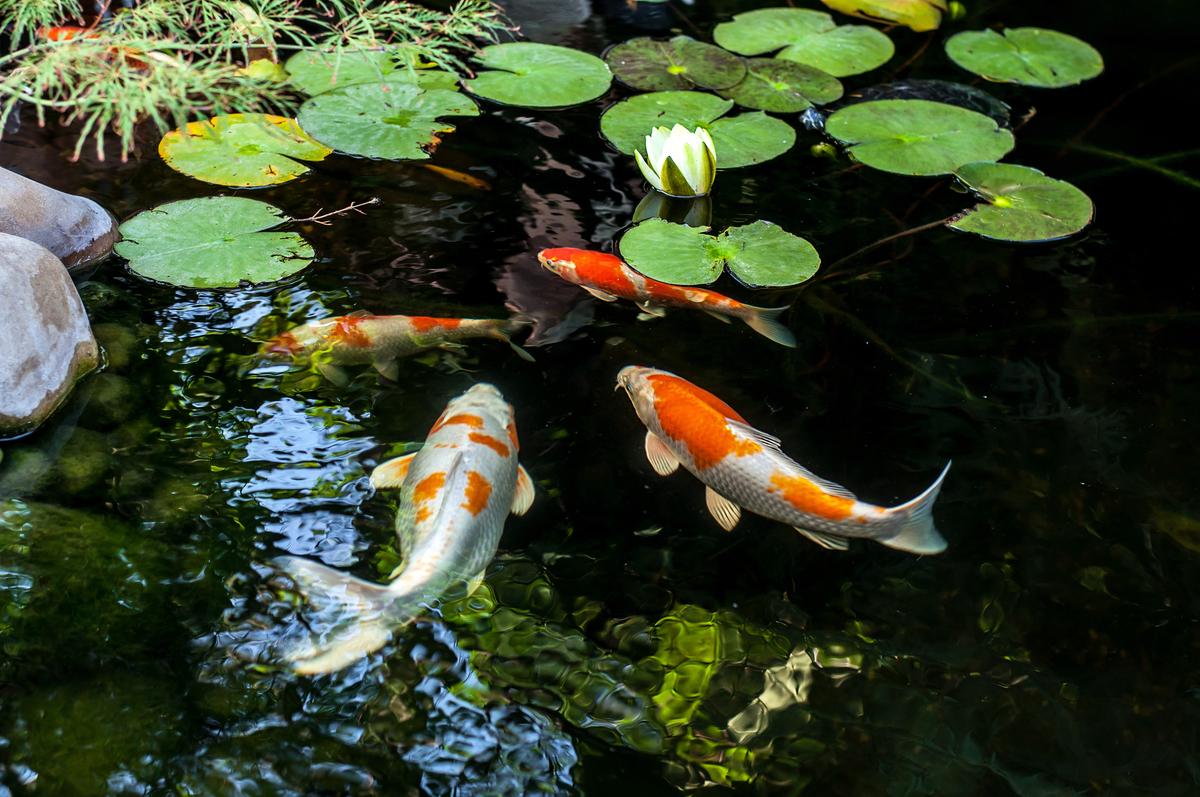 日本一條名叫花子(Hanako)的錦鯉活了226歲才去世。圖為人工池塘中的一些錦鯉,與本文無關。(Shutterstock)