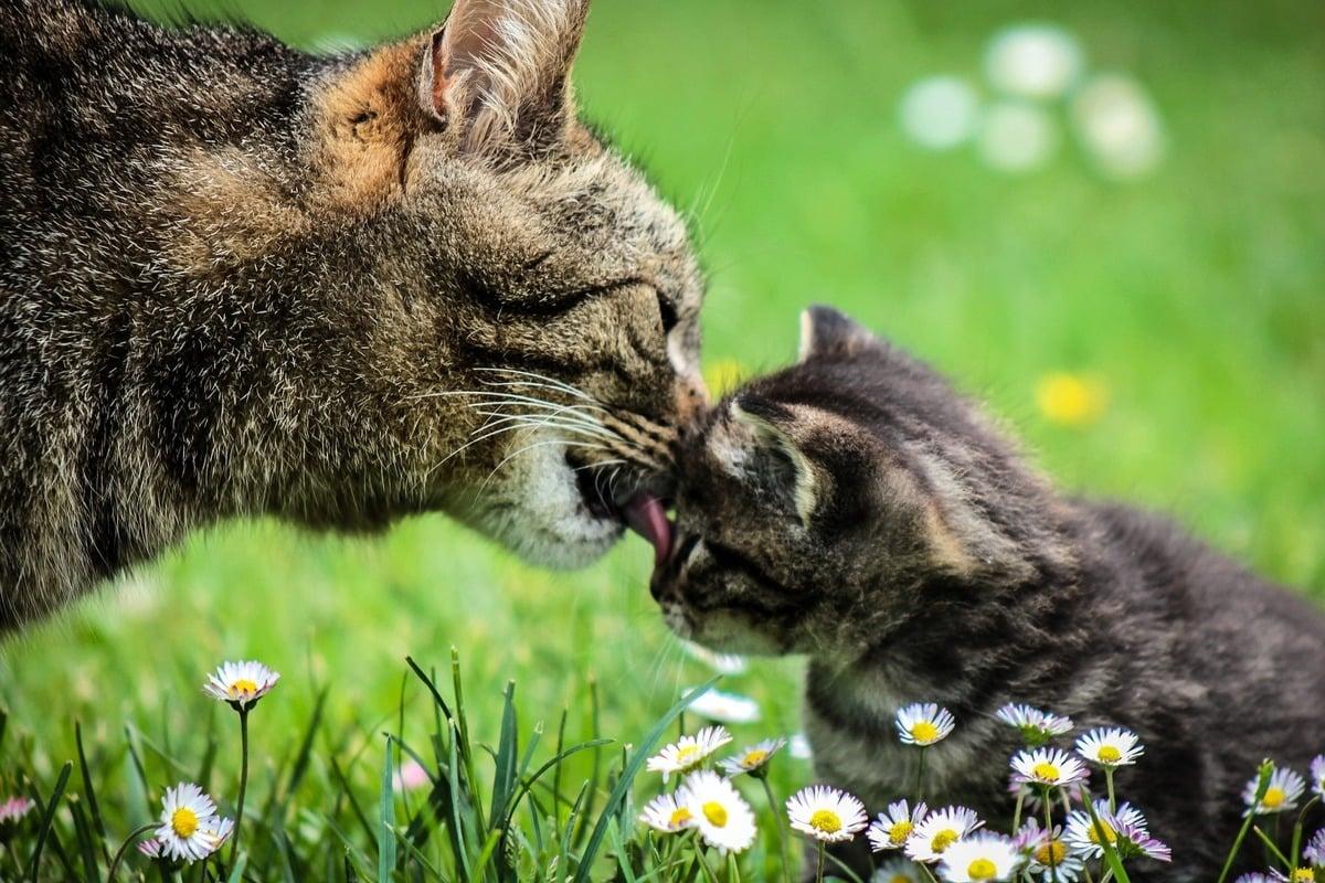 土耳其一隻流浪貓帶小貓上醫院求助,獲得醫護人員的適時幫助。圖為一隻母貓在舔小貓,與本文無關。(Pixabay)