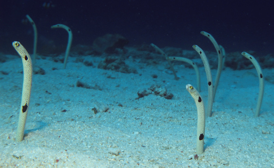 鰻魚因忘了人類而膽怯 日本水族館請你幫忙