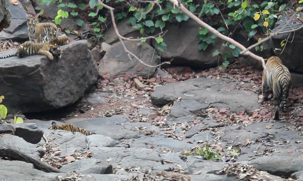 印度老虎保護區內有一隻雄性老虎,在雌虎去世後主動承擔照顧四隻幼崽的責任。(Forest Authorities, Panna Tiger Reserve提供)