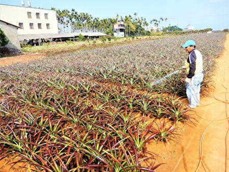 這一塊農作是新栽的,果農忙著往缺水的菠蘿田灑水。(黃玉燕/大紀元)