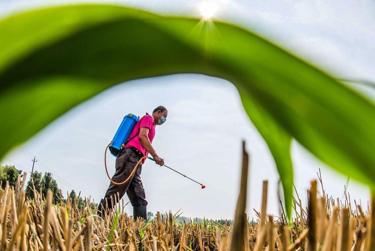 中共將種源問題上升至國家安全高度,引發糧食安全的質疑。(STR/AFP via Getty Images)