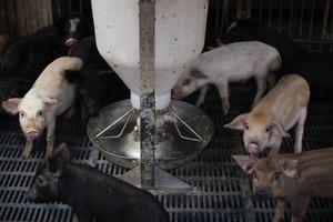 中國爆發非洲豬瘟 四省4.3億隻豬染病