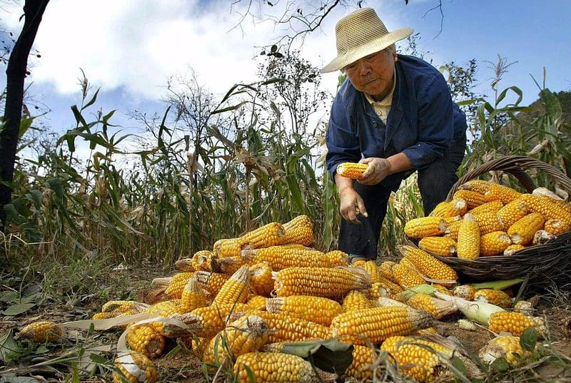 中國的粟米價格飄升至4年來高點,人民幣2,000元(合289美元)/噸左右;供需缺口達2570萬噸。圖為北京農村的一處粟米田。(FREDERIC BROWN / AFP)