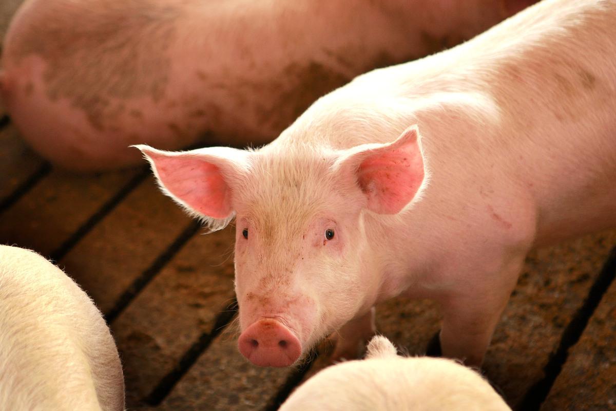 根據荷蘭合作國際銀行(Rabobank International)的數據,中國豬群要花上5年多的時間,才能從致命的非洲豬瘟病毒中恢復過來,且進口也難堵豬肉需求缺口。(Getty Images)