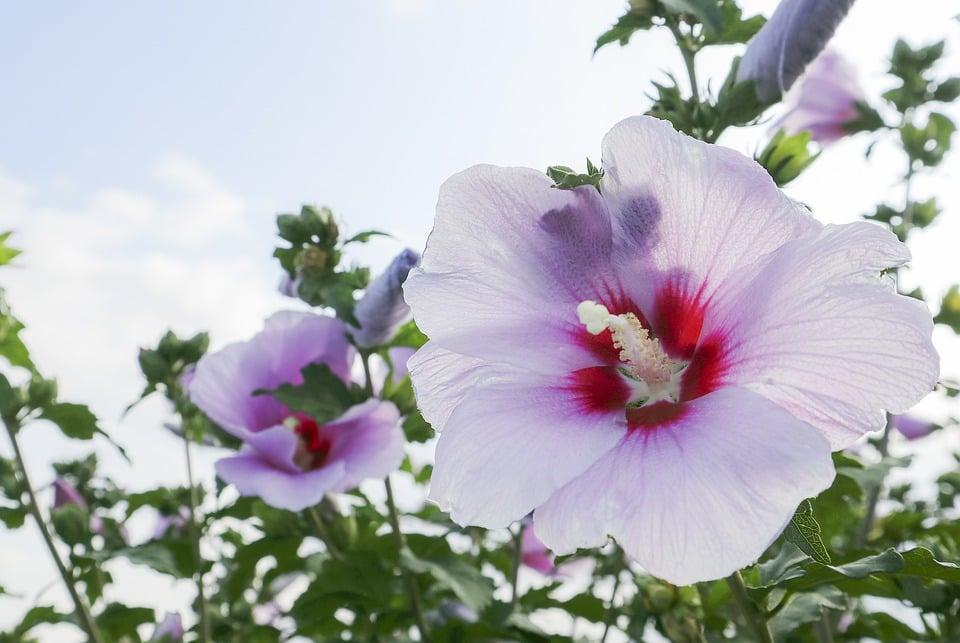 「仲夏之月,木槿榮。」6月21日,我們將迎接黃曆五月中的節氣「夏至」。此時,陽極陰生,陰氣居於內。飲食上,要以清泄暑熱、增進食欲為主。(Pixabay)