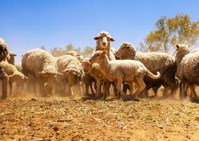 中國購入澳洲約9成出口羊毛 成最大買家