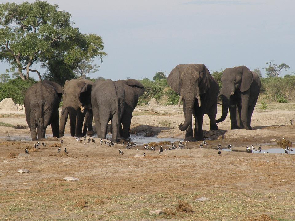自5月初以來,在博茨瓦納北部奧卡萬戈三角洲發現了360多頭大象的屍體,其死亡原因尚不清楚。圖為生活在奧卡萬戈三角洲內的大象。(Pixabay)
