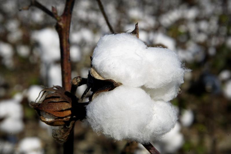 澳洲棉花價格飆升 銷售走俏 中共報復落空