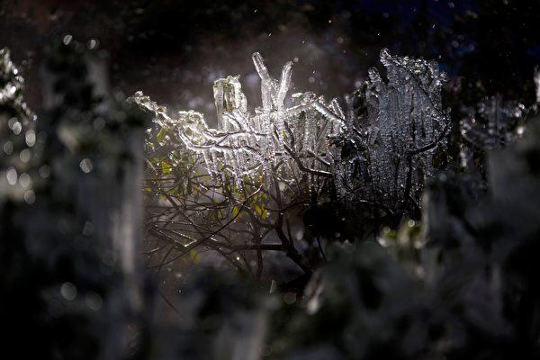 圖為2月15日德州侯斯頓灌木結冰情景。(Photo by MARK FELIX/AFP /AFP via Getty Images)