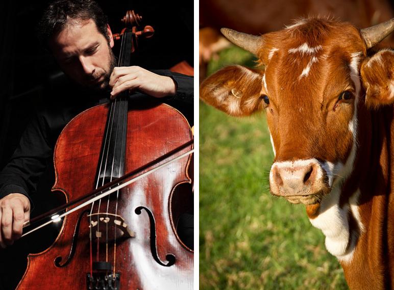 來自哥本哈根的牧場主日前和附近的斯堪的納維亞大提琴學校展開合作,多名傑出的大提琴演奏家受邀進入牛棚為牛只演奏柴可夫斯基的《奇想曲》。此為示意圖。(Pixabay/大紀元合成)