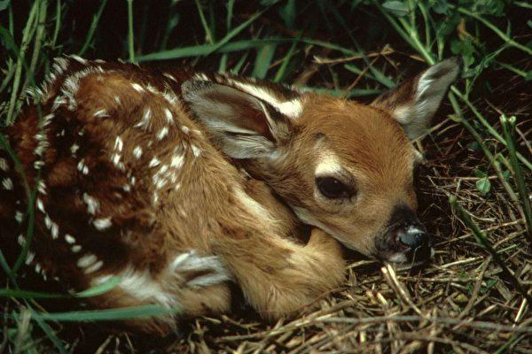 美國德州兩名男子對溺水的小鹿施以CPR,使牠活了過來。圖為一隻小鹿,與本文無關。(Pixabay)