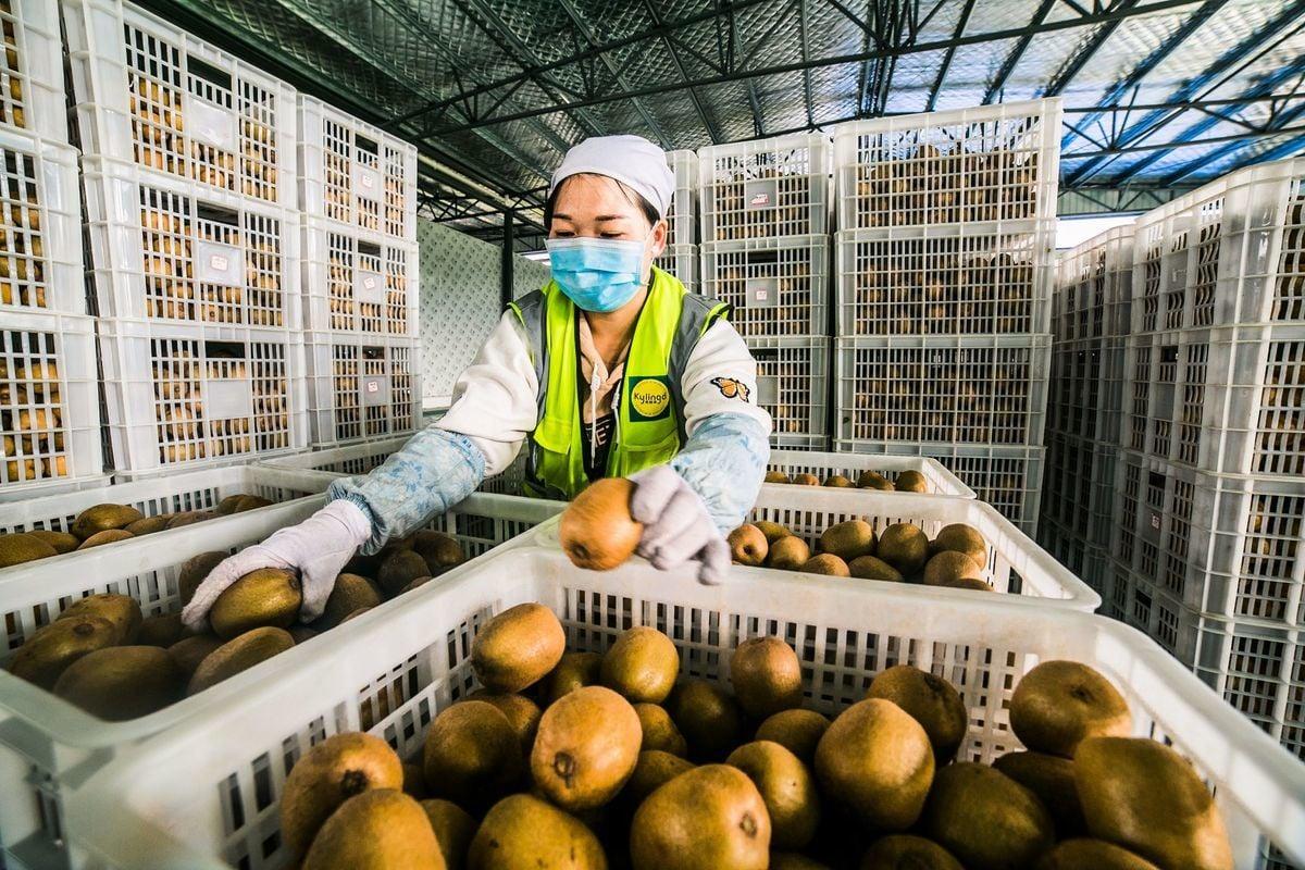 中國出現未獲Zespri授權、大量的山寨奇異果非法果園。(STR/AFP via Getty Images)