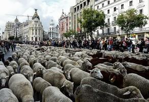 組圖:年度盛會 2千隻綿羊在馬德里逛大街
