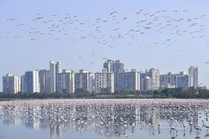 印度孟買封城 十幾萬隻紅鶴湧入 可望破紀錄