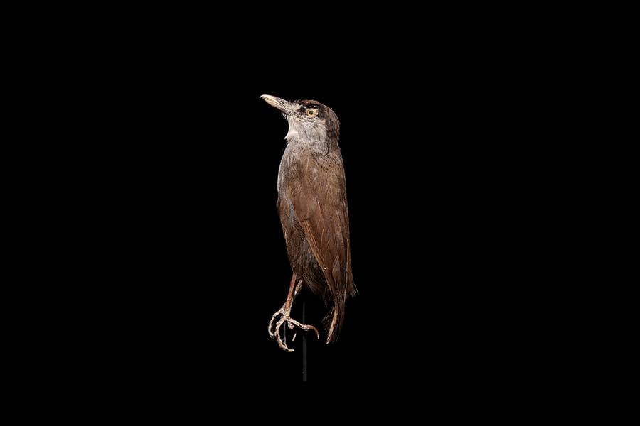 印尼罕見黑眉雅鶥 消失170多年後神秘現蹤