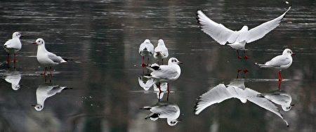 法國巴黎:鳥兒在結冰的湖上行走。(Photo by Gabriel Bouys / AFP Photo)