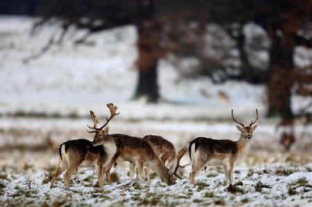 初雪中的麋鹿。(Getty Images)