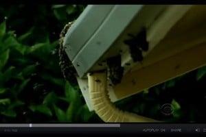 殺人蜂密集襲擊加州小鎮 居民頻頻遭蜇