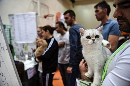 2016年10月16日,由世界聯合貓會主辦的國際貓展在土耳其伊斯坦堡舉辦。(OZAN KOSE/AFP/Getty Images)