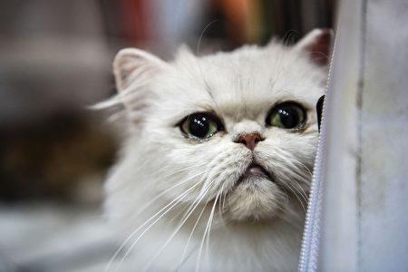 2016年10月16日,由世界聯合貓會主辦的國際貓展在土耳其伊斯坦堡舉辦。圖為異國短毛貓。(OZAN KOSE/AFP/Getty Images)