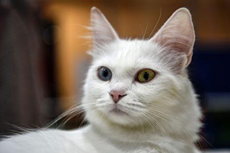 2016年10月16日,由世界聯合貓會主辦的國際貓展在土耳其伊斯坦堡舉辦。圖為土耳其安哥拉貓。(OZAN KOSE/AFP/Getty Images)