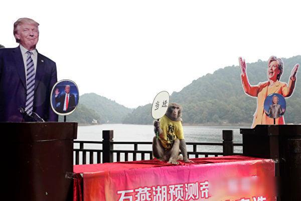 就在美國大選幾天之前,湖南長沙一只被稱為預言帝的猴子預測特朗普將當選總統。(STR/AFP/Getty Images)