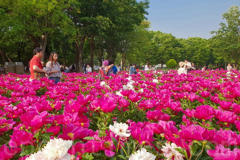 首爾大公園玫瑰花節 初夏踏青賞花趣