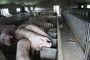 一天確診四例 中國非洲豬瘟疫情呈爆發態勢