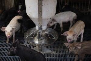 非洲豬瘟安徽蔓延 內蒙出現藍耳豬瘟