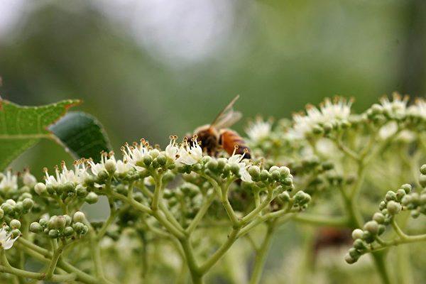 食茱萸花開。(圖片來源:莊溪《認識植物》網站/莊溪提供)