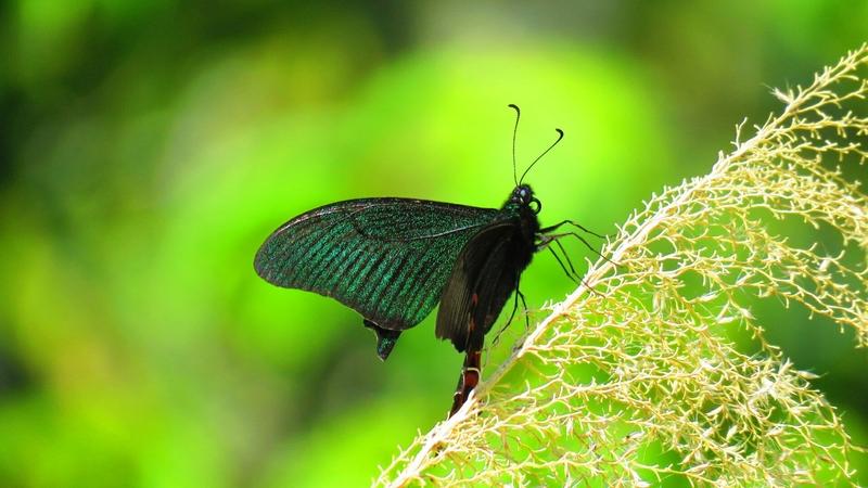 烏鴉鳳蝶。(蘇家弘提供)