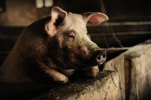 中共無力控制豬瘟 疫情嚴重衝擊養豬業